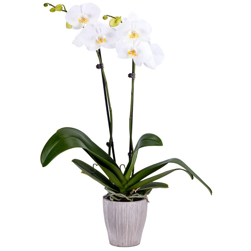 DecoBlooms 5 in. Orchid White in Container