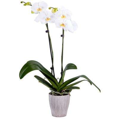 Orchid White In Container