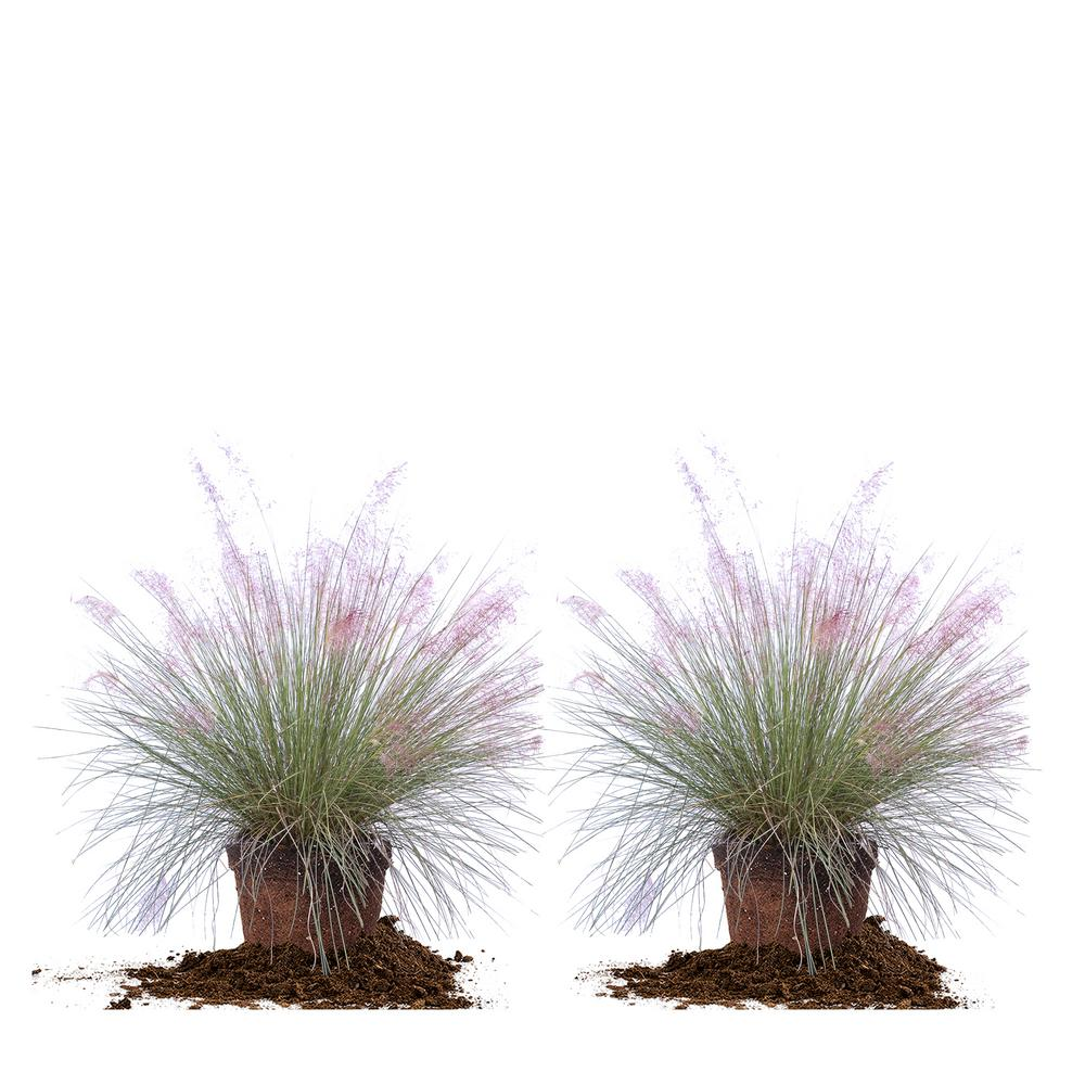 3 Muhly Grass 2 Pack Thd00062 The Home Depot