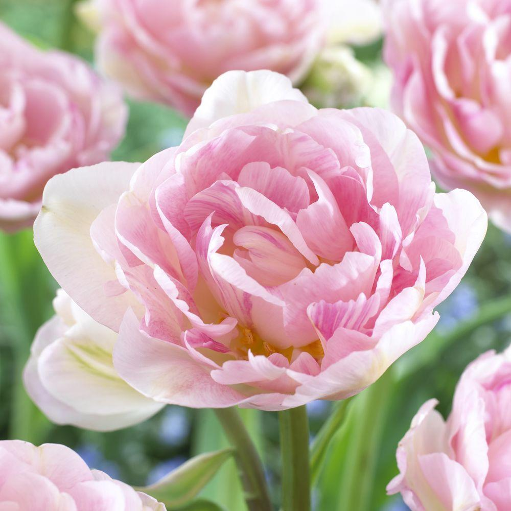 Martha Stewart Living Tulip Angelique Dormant Bulbs (54-Pack)