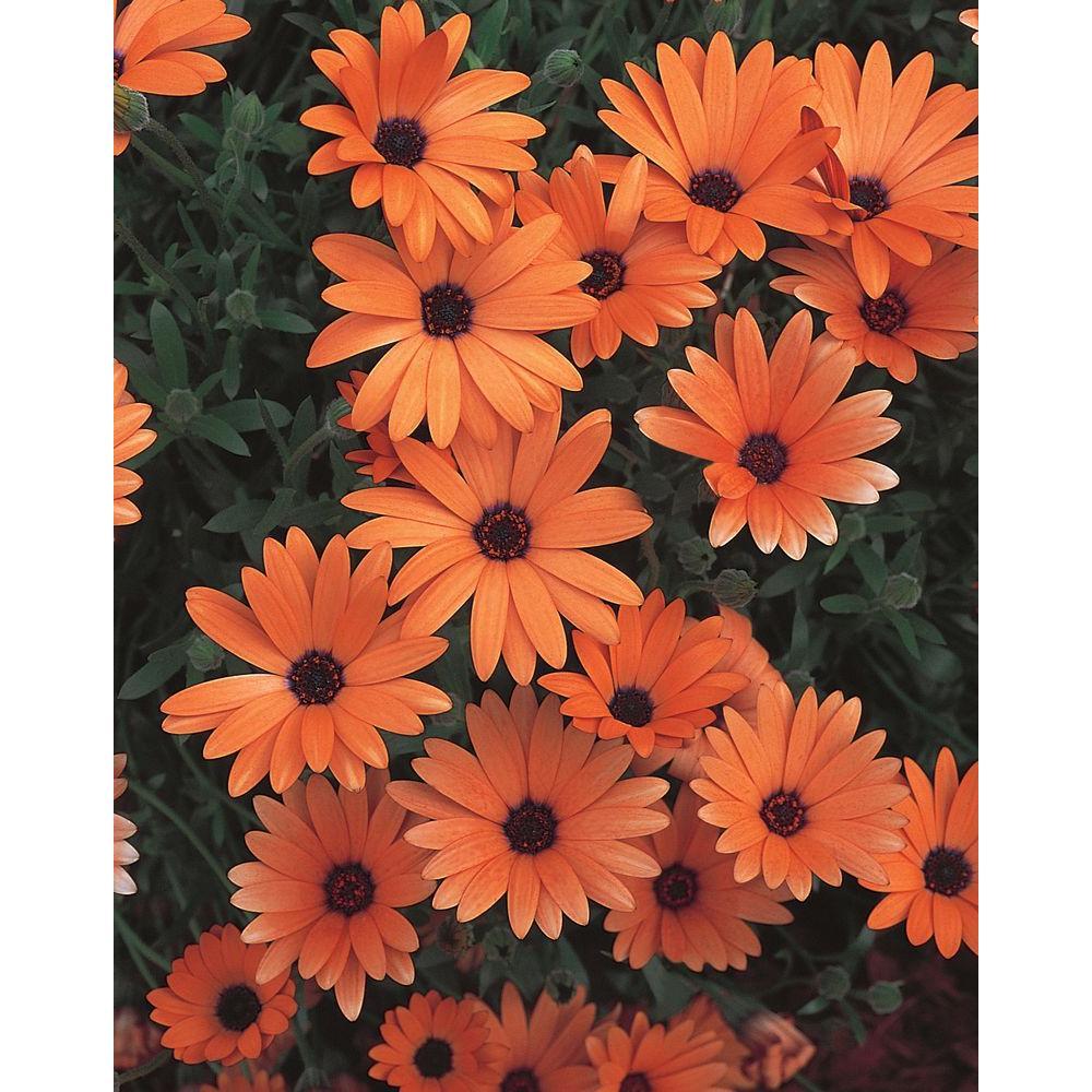 Orange Symphony (Osteospermum) Live Plant, Orange Flowers, 4.25 in. Grande, 4-pack