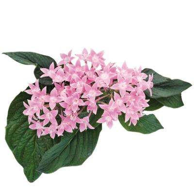 1 Qt. Pink Penta Flowers in Grower Pot (12-Pack)