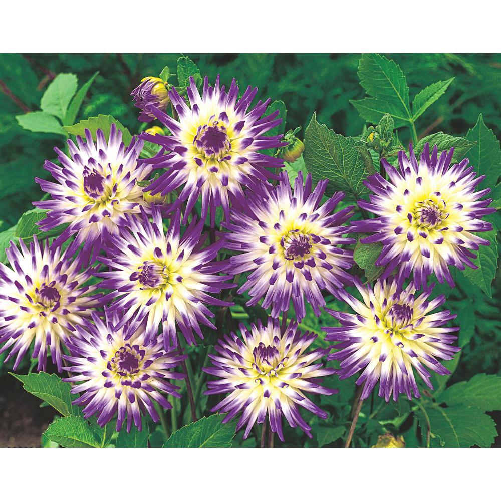 Lavender Flowers Veritable Cactus Dahlia Bulbs (5-Pack)