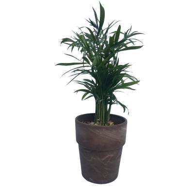 3 in. Tropical Neanthe Bella Palm Plant in Clay