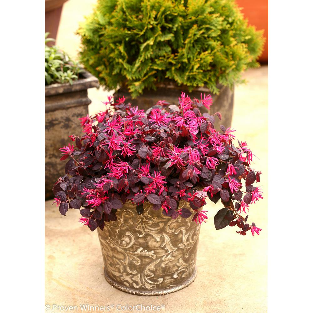 Loropetalum Shrubs Trees Bushes The Home Depot