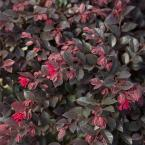 2.5 Qt. Purple Daydream Dwarf Loropetalum, Evergreen Shrub with Purple Foliage, Pink Ribbon Blooms