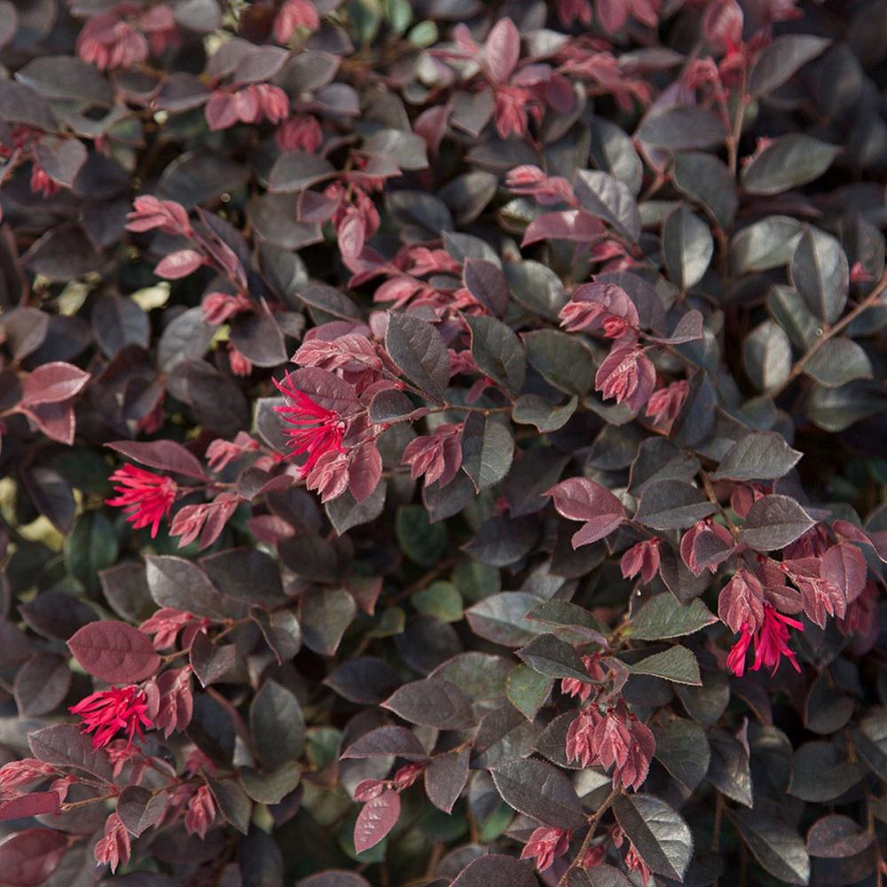 Shrubs with purple flowers pictures - Southern Living Plant Collection 2 Gal Purple Daydream Dwarf Loropetalum Evergreen Shrub With Purple