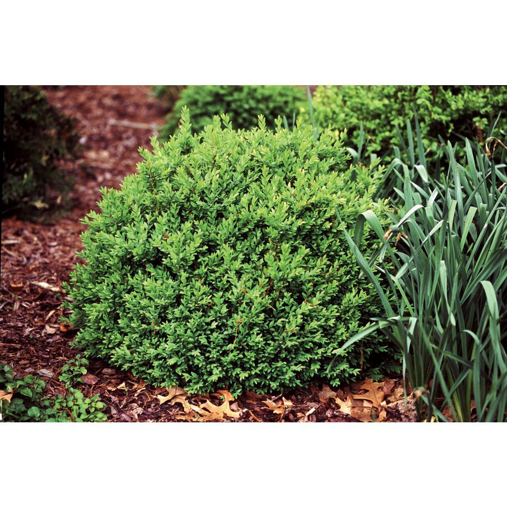 4.5 in. Qt. North Star Boxwood (Buxus) Live Evergreen Shrub, Dark Green Foliage