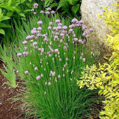 4.5 in. Onion Chives