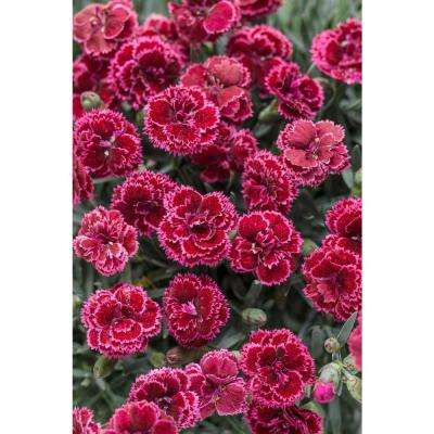 Fruit Punch Black Cherry Frost Pinks (Dianthus) Live Plant, Red Flowers, 0.65 Gal.