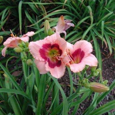 2.50 Qt. Wine Berry Candy Daylily (Hemerocallis) Live Perennial Plant Pink Flowers with Red Center