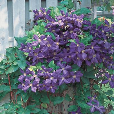 2.5 Qt. H.F. Young Blue and Purple Clematis Plant