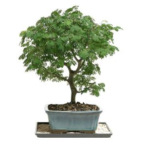 Brussel S Bonsai Brazilian Rain Tree Bonsai Dt 4022brt