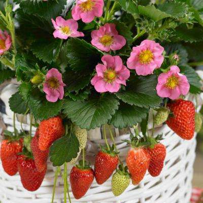 2.50 in. Pot Gasana Ever-Bearing Strawberry Fragaria Live Potted Fruiting Plant (1-Pack)