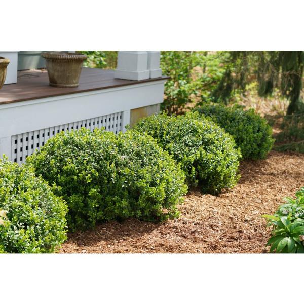 Sprinter Boxwood (Buxus) Live Evergreen Shrub, Green Foliage, 4.5 in. Qt.