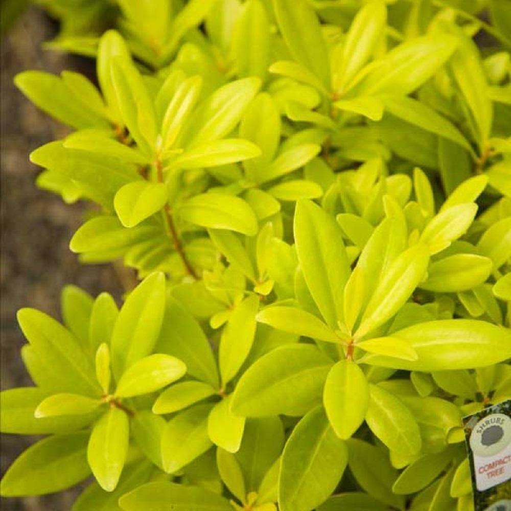 2 Gal. Florida Sunshine Anise (Illicium) Shrub Plant with Shade-Friendly Chartreuse Yellow Foliage