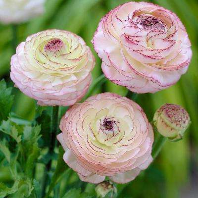 Butter Cups Ranunculus Double Picotee Bulbs (Pack of 25)