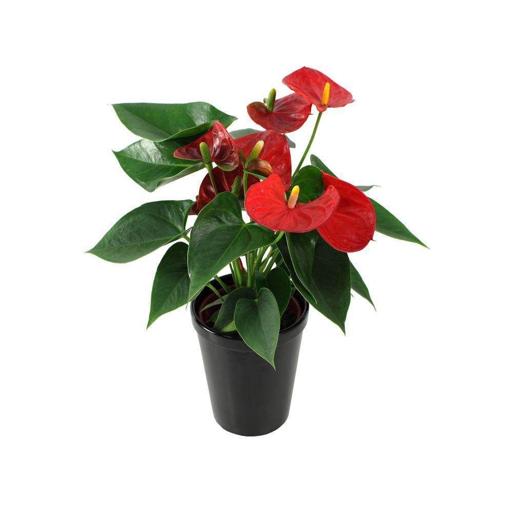 Just Add Ice Orchids 5 in. Anthurium in Ceramic