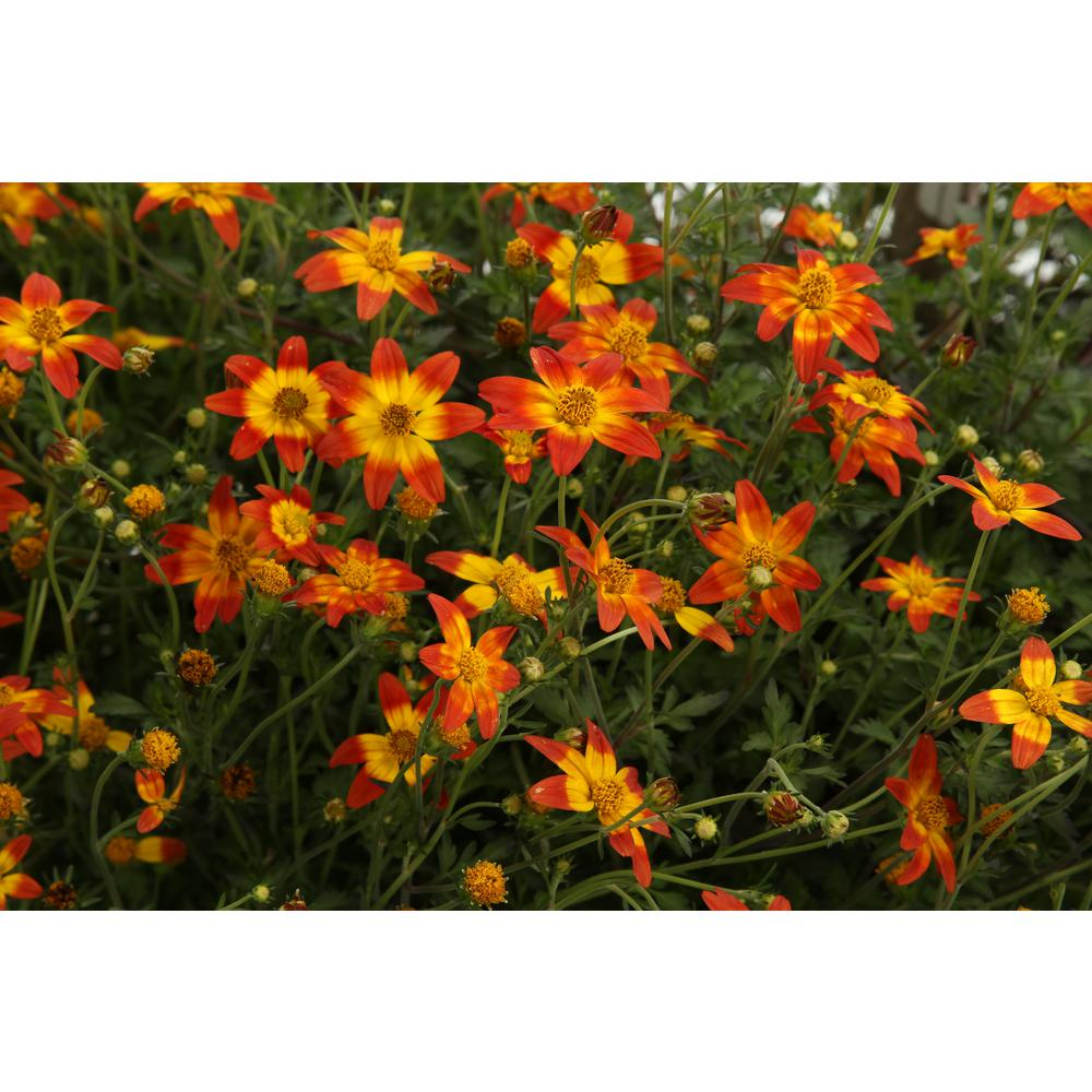 Proven Winners Campfire Fireburst Bidens Live Plant Red Yellow