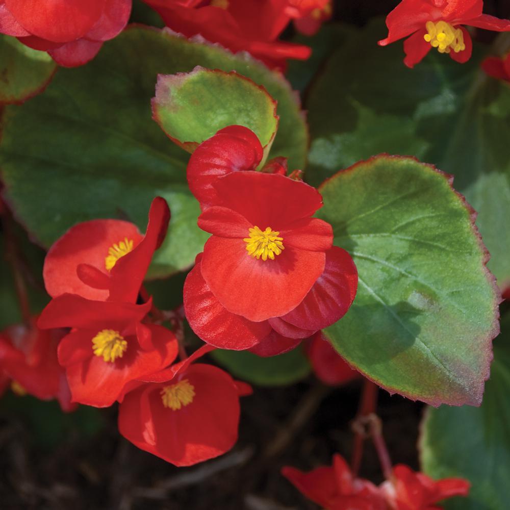1.38-Pint Green Leaf Red Begonia Plant