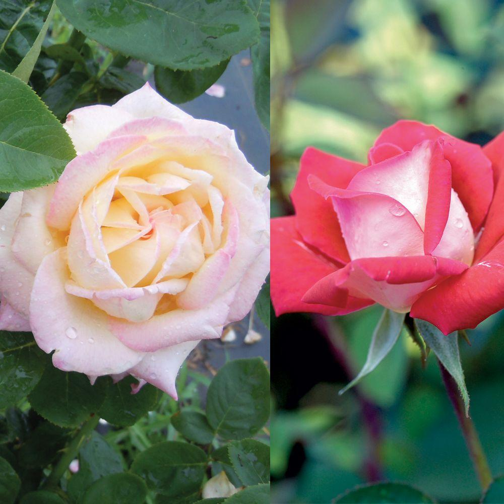Mea Nursery Valentine's Day Special Purpose Rose Peace and Rose Love (Twin Pack)