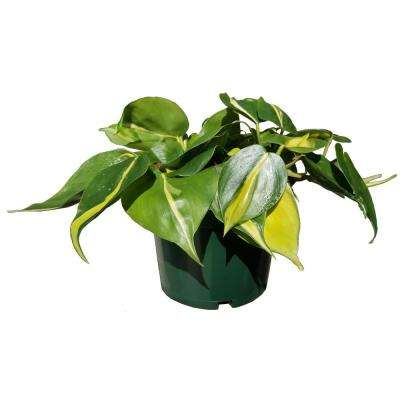 Philodendron Brasil Plant in 6 in. Grower Pot