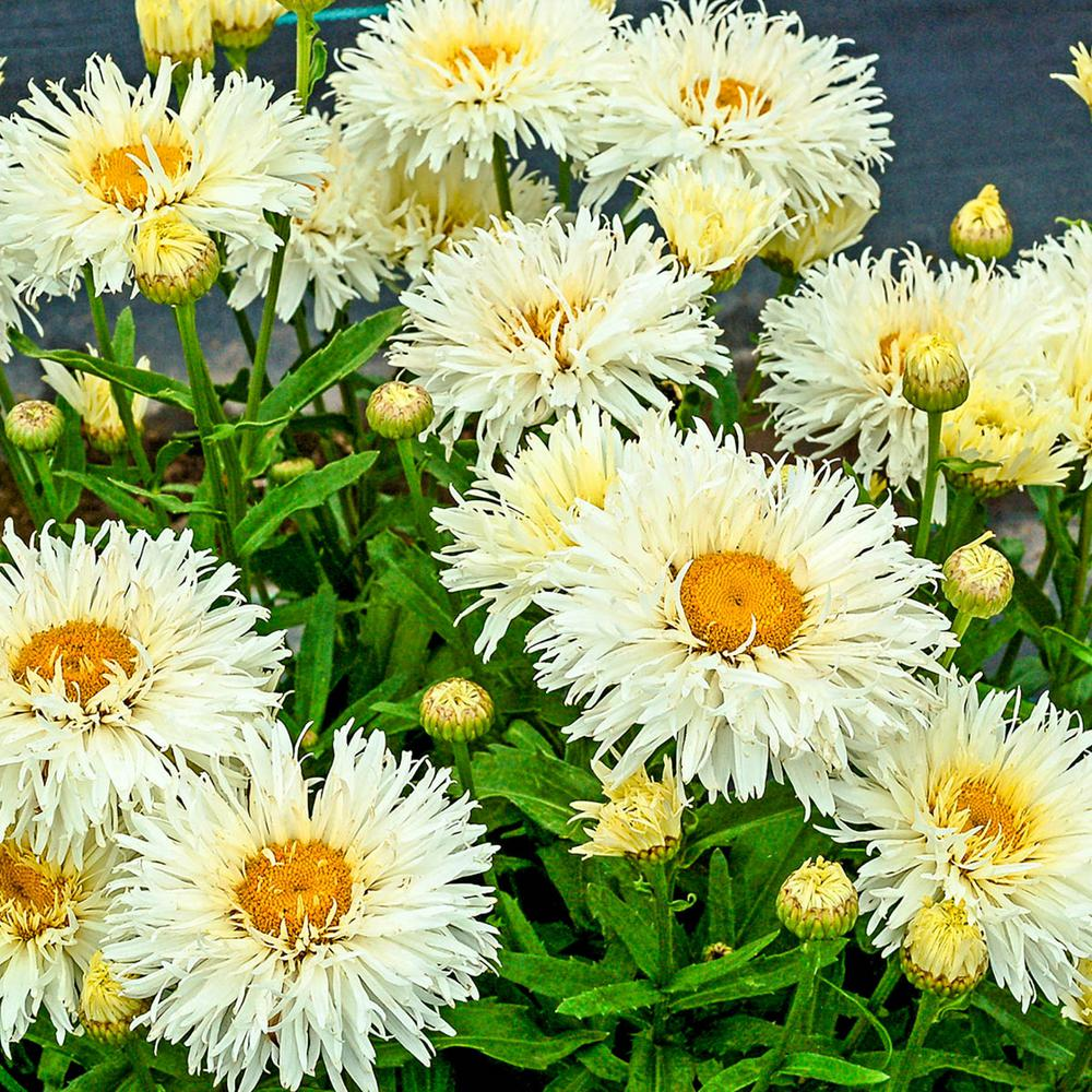 Pot White Flowers Coconut Shasta Daisy (Leucanthemum) Live Potted Perennial Plant (1-Pack) & Spring Hill Nurseries 3 in. Pot White Flowers Coconut Shasta Daisy ...