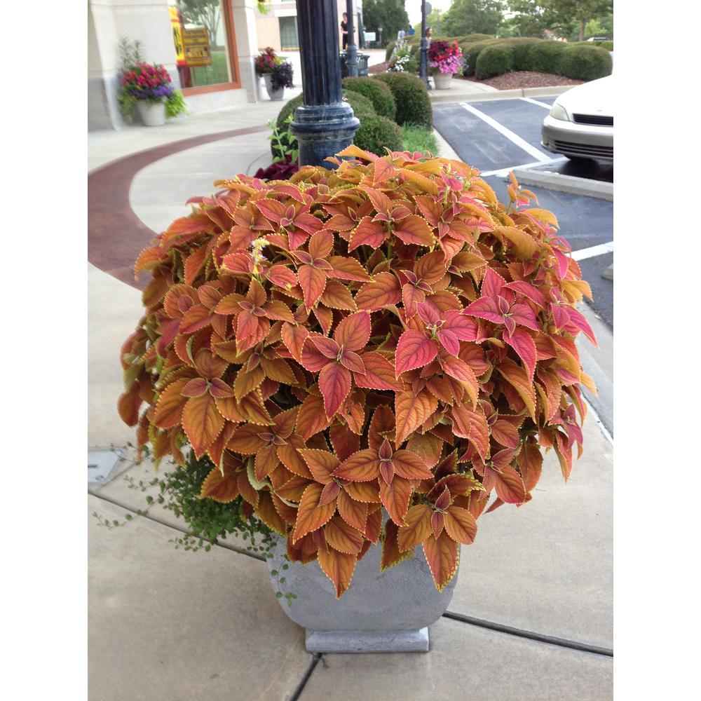 1.38 Pt. Coleus Plant Rustic Orange Vegetative in 4.5 In. Grower's Pot (8-Plants)