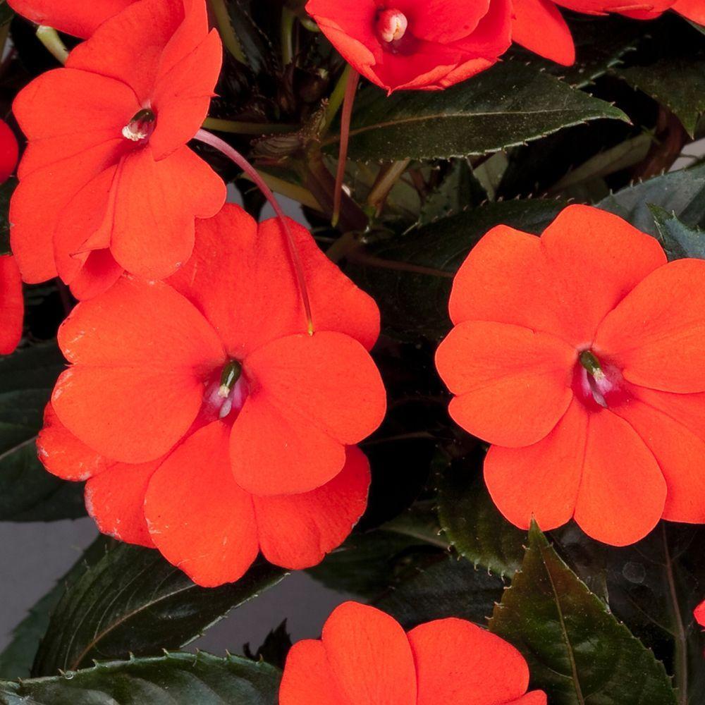 Viva 1 qt. Orange Compact Sunpatien-DISCONTINUED
