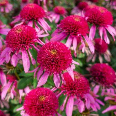 Bubble Gum Coneflower (Echinacea) Live Bareroot Perennial with Pink Flowers (3-Pack)
