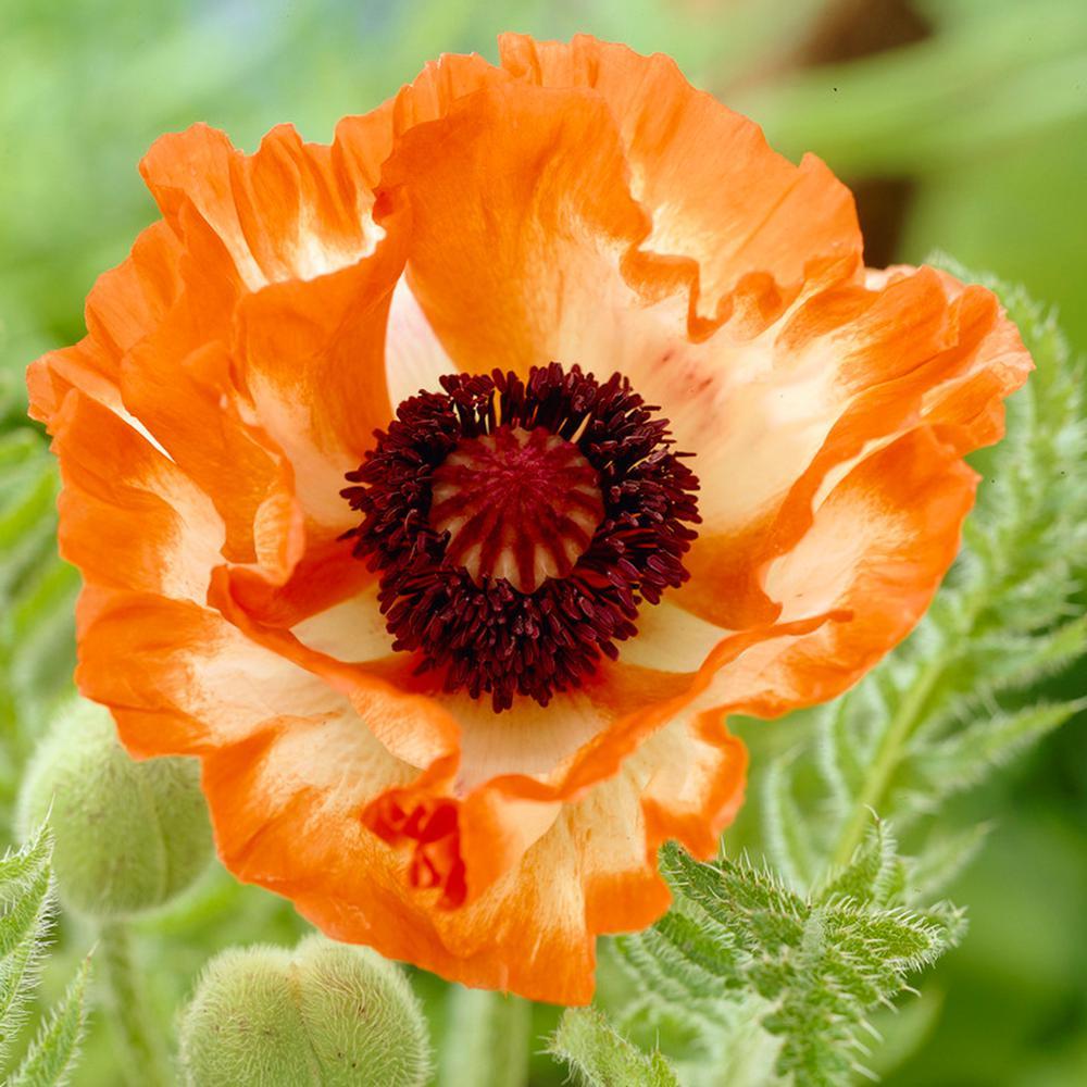 Orange Poppy Roots (5-Pack)