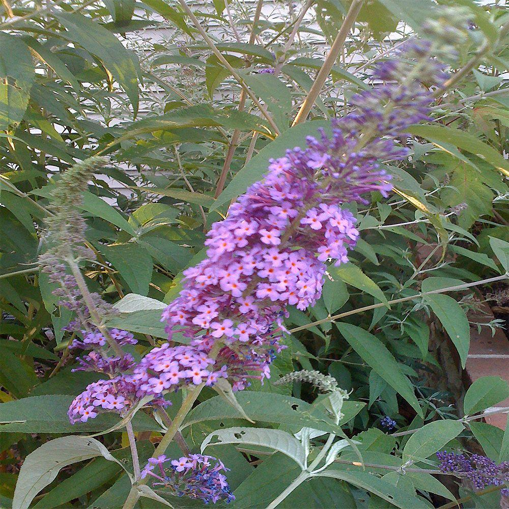 OnlinePlantCenter 2 gal. Pink Delight Butterfly Bush Plant