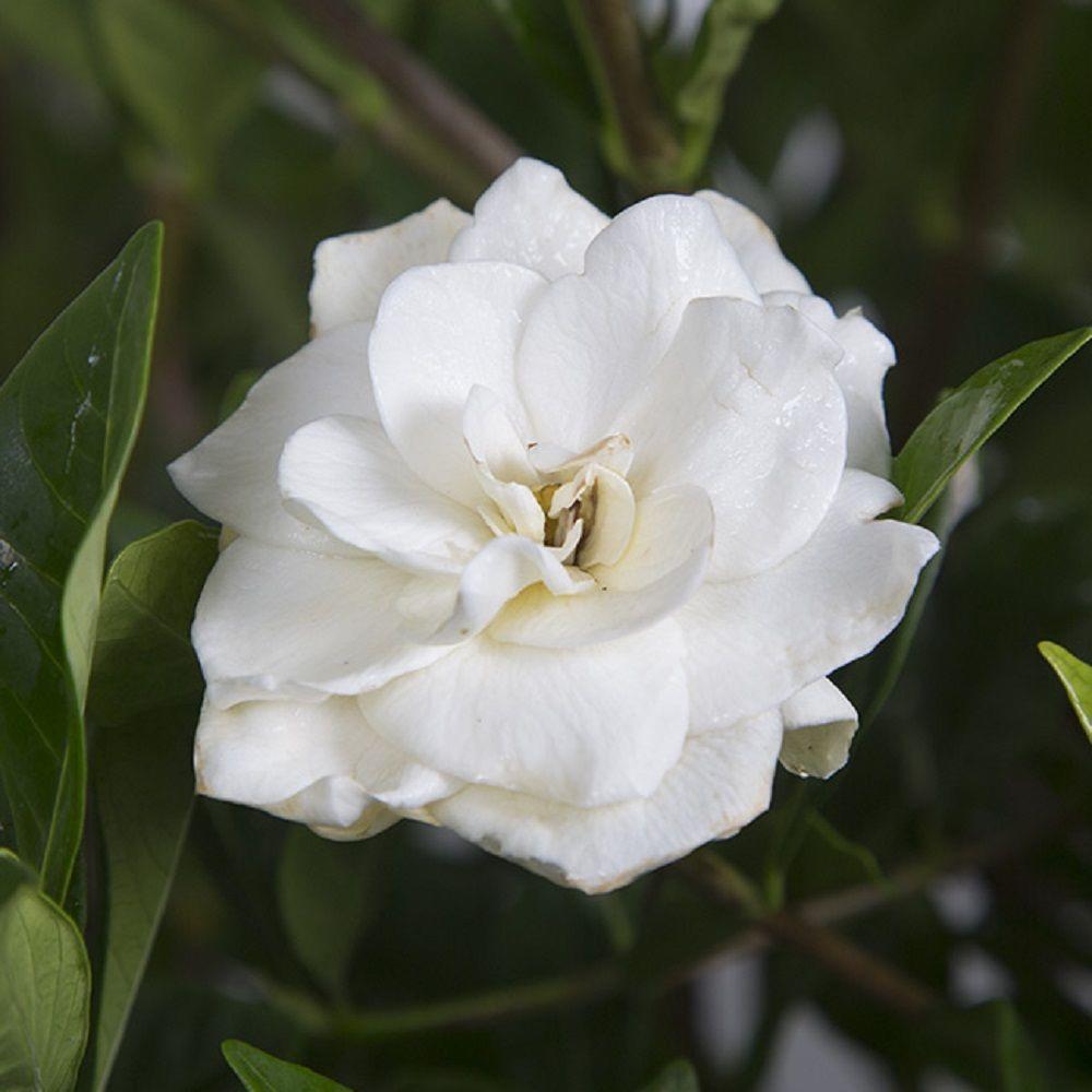 Pot   August Beauty Gardenia, Live Evergreen Shrub, White Fragrant Blooms