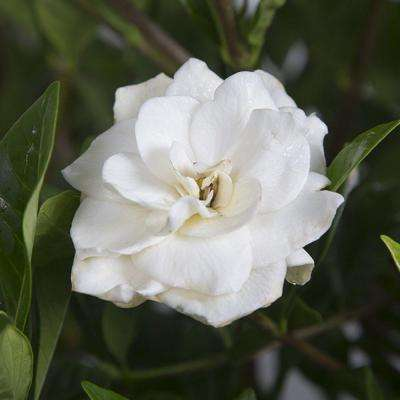 3 Gal. August Beauty Gardenia, Live Evergreen Shrub, White Fragrant Blooms