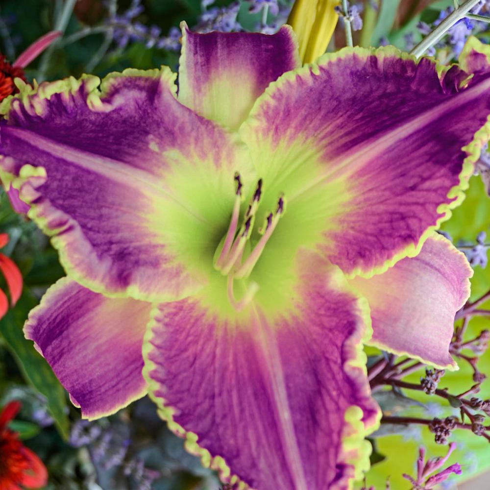 Judy Judy Reblooming Daylily (Hemerocallis) Live Bareroot Plant Lavender and Yellow Flowering Perennial (1-Pack)