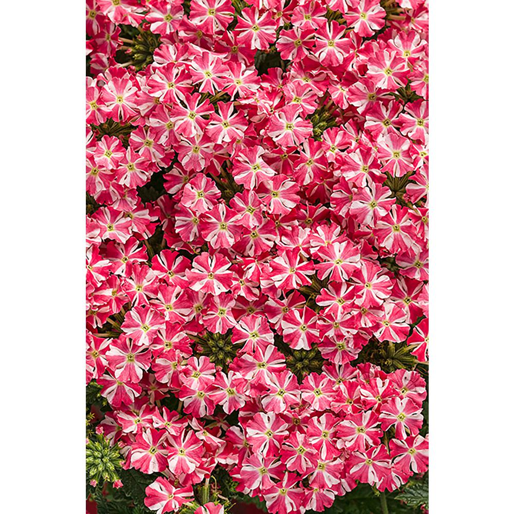 Superbena Royale Cherryburst (Verbena) Live Plant, Pink and White Striped