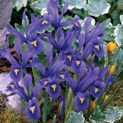 Reticulata Iris Bulbs (25-Pack)