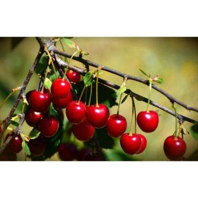 Most Popular Cherry in The United States Montmorency Pie Cherry Tree (Bare-Root, 3 ft. to 4 ft. Tall 2-Years Old)