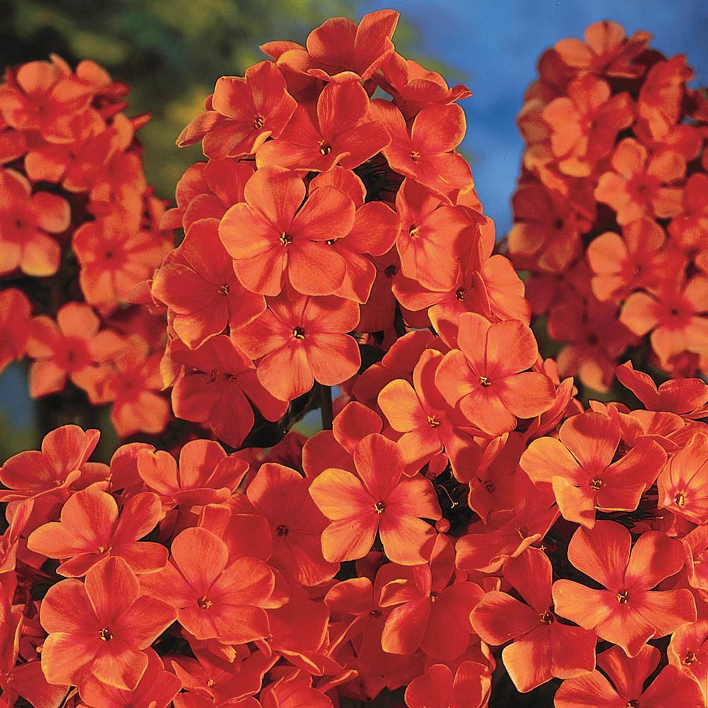 Spring Hill Nurseries Orange Perfection Tall Phlox Live