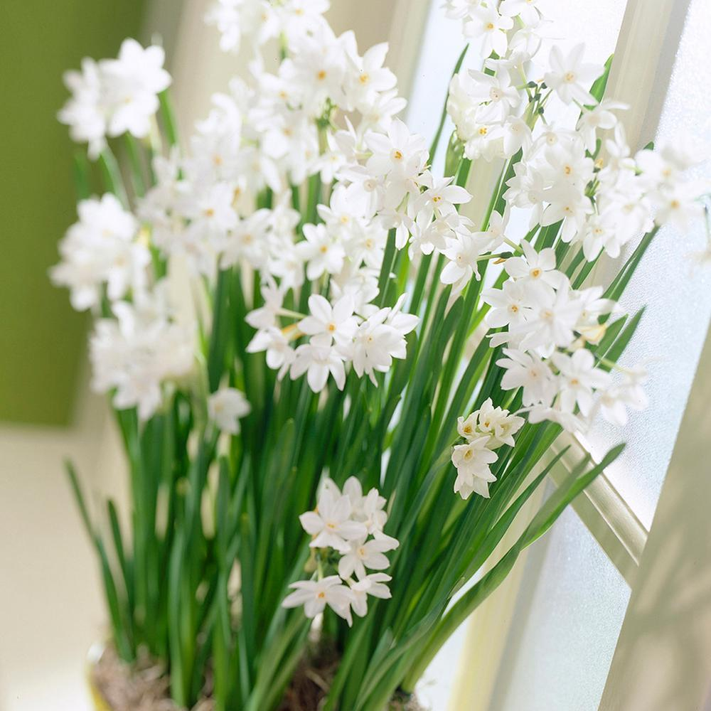 Paperwhite flower bulbs garden plants flowers the home depot paperwhites set of 5 mightylinksfo Images