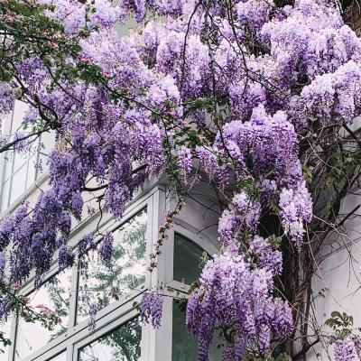 9.25 in. Pot - Amethyst Falls Wisteria, Live Vine Plant, Clusters of Lilac-Purple Blooms