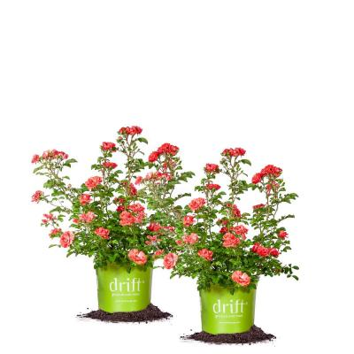 1 Gal. The Coral Drift Rose Bush with Coral Pink Flowers (2-Plants)