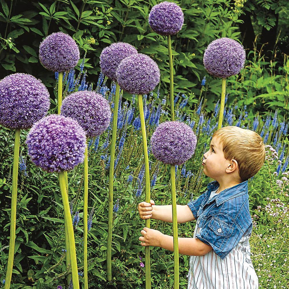 Gladiator Allium Bulbs (1-Pack)