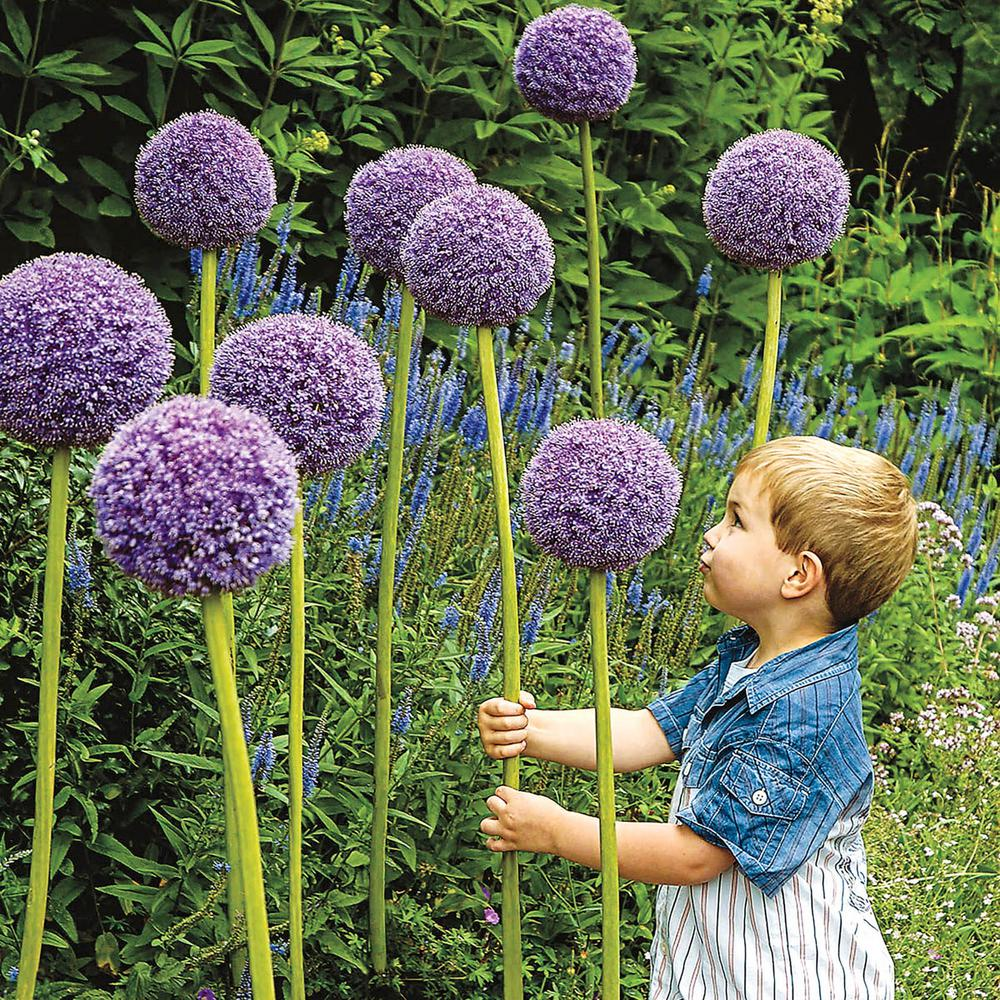 Spring Hill Nurseries Gladiator Allium Bulbs 1 Pack