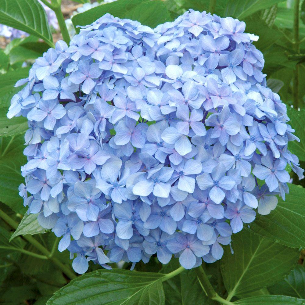 Southern Living Plant Collection 2 Gal. Big Daddy Hydrangea(Macrophylla) Live Deciduous Shrub, Pink or Blue Mophead Blooms