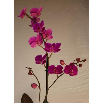 Luna River 4.0 in. Bio Pot Purple Phalaenopsis Orchid