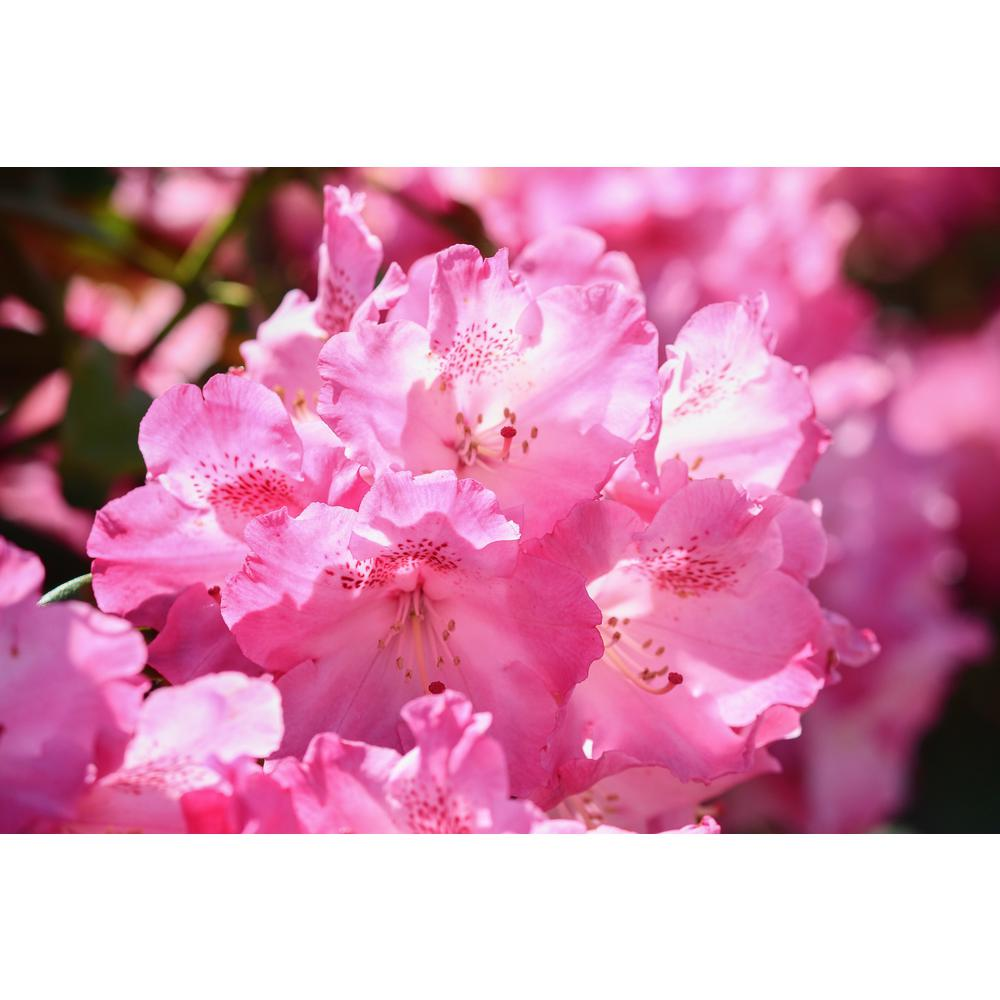 OnlineOrchards Online Orchards 1 Gal. PJM Compact Rhododendron Shrub Profuse Lavender Blossoms Light Up Across Green Foliage Very Cold Hardy