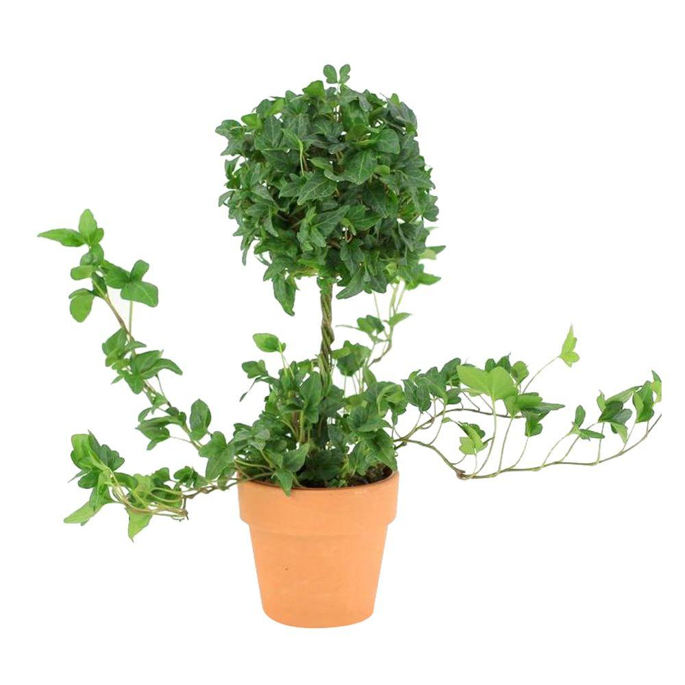 4.25 in. Ivy Ball On Stem Topiary in Terra Cotta Pot