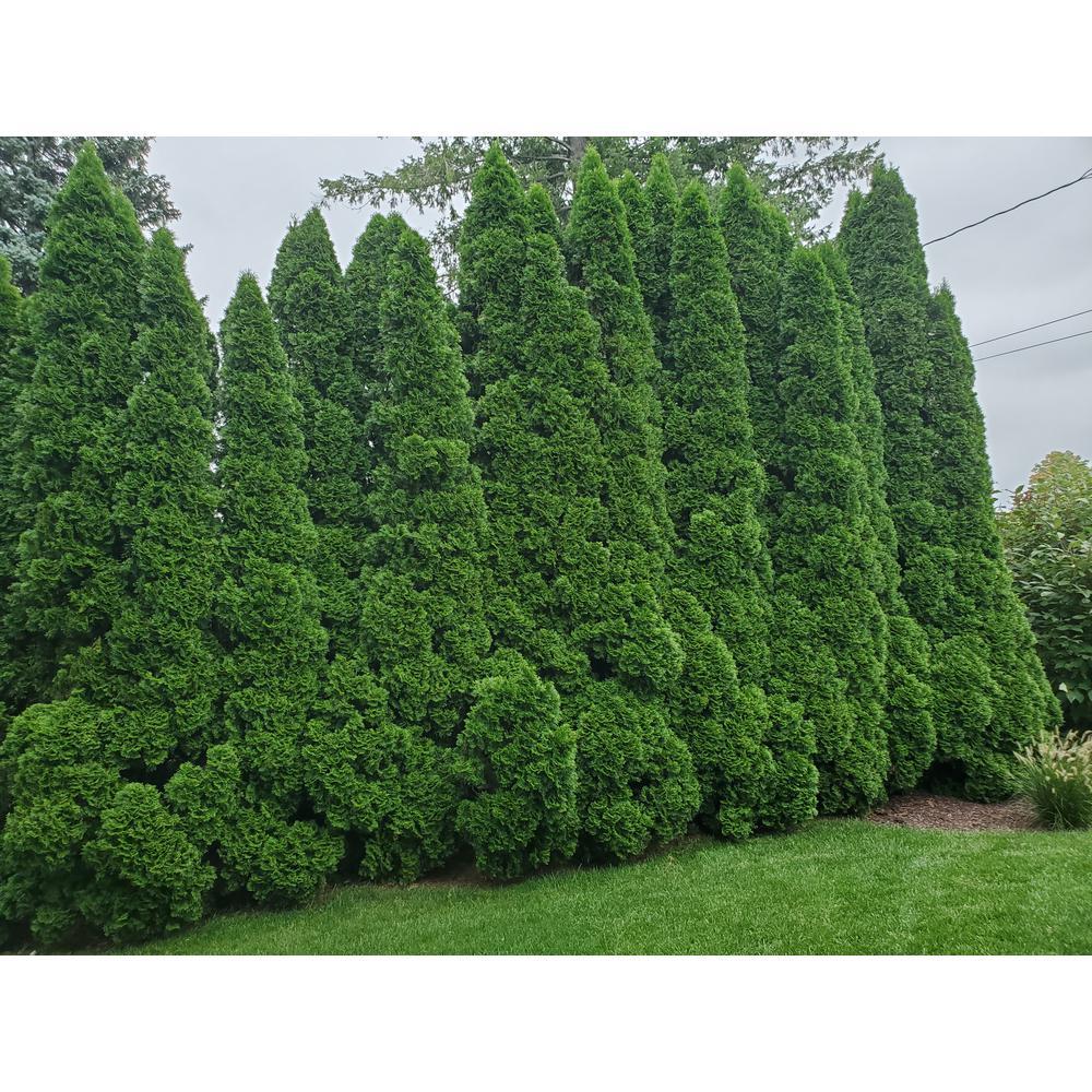 2 Gal. Emerald Green Arborvitae Plant