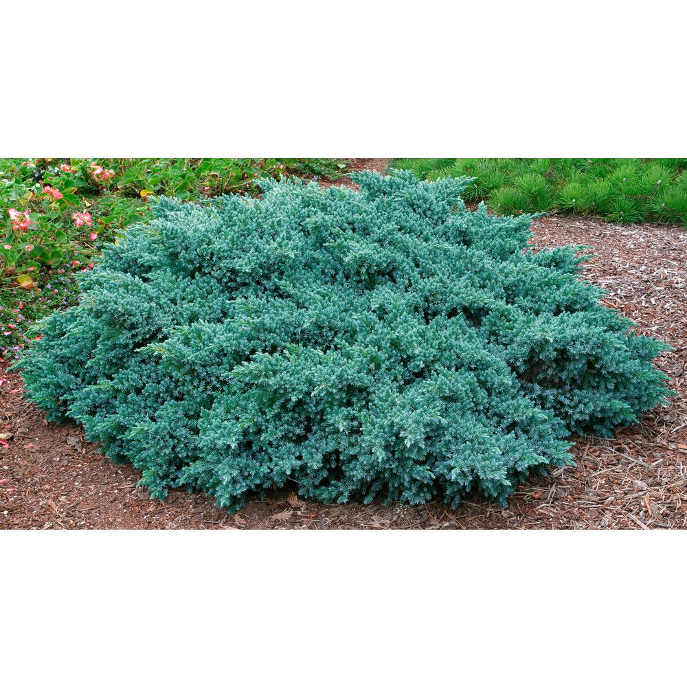 2 50 Qt  Pot Blue Star Juniper Live Evergreen Plant Blue-Silver Needled Low  Growing Evergreen Shrub